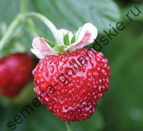 "Земляника ""МИГНОННЕТТЕ"" (Mignonnette) 10 семян"